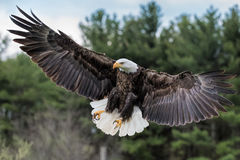 Bald Eagle Landing. A Bald Eagle preparing to land with feathers and wings spread out Stock Photos