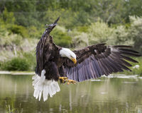 Bald Eagle landing on shore. Bruce the Bald Eagle at Canadian Raptor Conservancy Royalty Free Stock Image