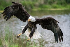 Bald Eagle Landing on Shore. A Bald Eagle preparing to land on the shore with feathers and wings spread out Stock Photography