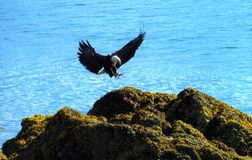 Bald Eagle Landing. Soaring eagle coming in for a rest on rocky terrain in Alaska Royalty Free Stock Image