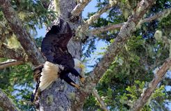 Bald eagle landing on a spruce tree branch on the west coast of British Columbia Royalty Free Stock Photography