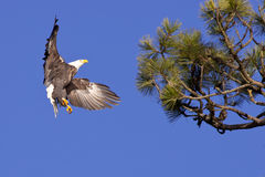 Bald eagle landing in tree. Bald eagle prepares to land in a tree Stock Images