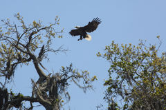 Bald eagle landing in a tree in central Florida. Bald eagle, Haliaeetus leucocephalus, preparing to land in a tree with wings outspread at Twin Oaks Stock Image