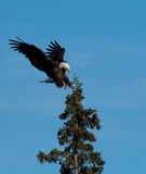 Bald eagle landing in a tree Royalty Free Stock Images