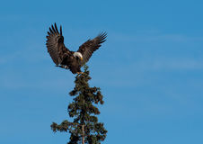 Bald eagle landing in a tree. A bald eagle landing in an evergreen tree with blue sky in Katmai National Park, Alaska Royalty Free Stock Images