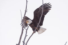 Bald Eagle Landing in a Tree Top. Mature American Bald Eagle landing in a tree top limb with his mighty wings spread wide on a frosty cold winter morning Royalty Free Stock Photo