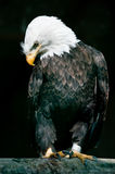 Bald Eagle (lat. Haliaeetus leucocephalus) Stock Photo