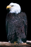 Bald Eagle (lat. Haliaeetus leucocephalus) Stock Images