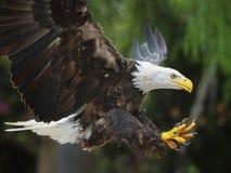 Bald Eagle (lat. haliaeetus leucocephalus) Stock Photo
