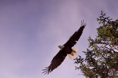 Bald eagle launches itself from branch of spruce tree, its wings spread wide. West coast of Vancouver Island, British Columbia stock images