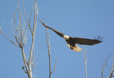 Bald Eagle Leaving Tree Top Branches Royalty Free Stock Images