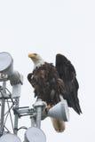 Bald Eagle on Light Pole Stock Photos