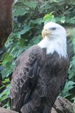 Bald Eagle National Aviary PA. A bald eagle living in the National Aviary in PA royalty free stock photo