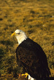 Bald Eagle on Log Royalty Free Stock Photos
