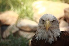Bald Eagle Looking Into Camera Royalty Free Stock Images