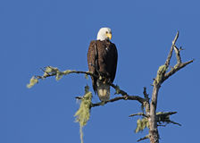 Bald Eagle Looking Down Royalty Free Stock Image