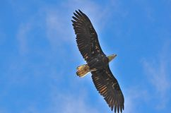 Eagle in the sky watching stock image