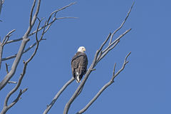 Bald Eagle Looking for Food Royalty Free Stock Images