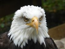 Bald eagle looking out at the world royalty free stock photo