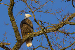 Bald Eagle Looking over Shoulder on Thick Branch Stock Photography