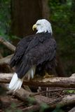 Bald Eagle Looking to the side Royalty Free Stock Images