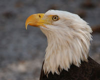 Bald Eagle looking up. Profile of American Bald eagle looking upwards Royalty Free Stock Images