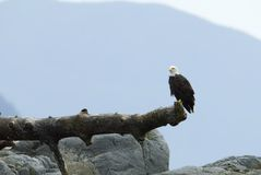 Bald eagle at lookout Royalty Free Stock Image
