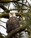 Bald eagle looks at camera. Stock Photos