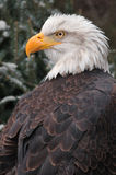 Bald Eagle Looks Left royalty free stock photos