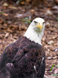 Bald Eagle Looks at You. A bald eagle looks over its shoulder at the viewer Stock Photography