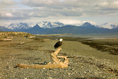 A bald eagle at low tide in homer Royalty Free Stock Photos
