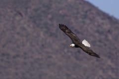 Bald Eagle Lower Salt River Stock Image