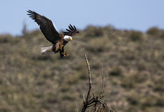Bald Eagle Lower Salt River Royalty Free Stock Photos