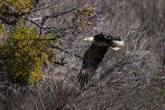 Bald Eagle Lower Salt River Stock Images