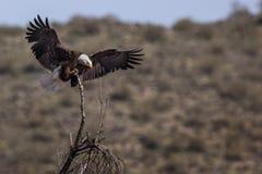 Bald Eagle Lower Salt River Royalty Free Stock Image