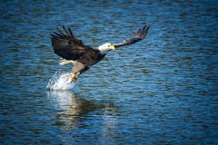 Bald eagle makes the grab for the fish. royalty free stock photo