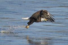 Bald Eagle. Making a fish grab royalty free stock photography
