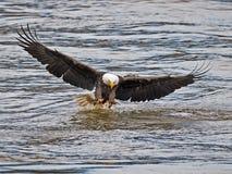 Bald Eagle. Making a fish grab stock image