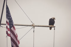 Bald Eagle on a Mast With Flag. A bald eagle sits on a mast next to an American Flag. Looks peaceful Royalty Free Stock Photography