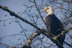 Bald Eagle. A mature Bald Eagle along the Nooksack River in western Washington State scans the riverside looking for spawned out salmon for a tasty meal royalty free stock image