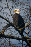 Bald Eagle. A mature Bald Eagle along the Nooksack River in western Washington State scans the riverside looking for spawned out salmon for a tasty meal stock photography