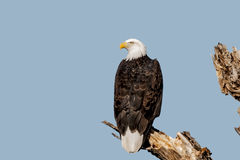Bald Eagle. A mature bald eagle perched on a tree Stock Image