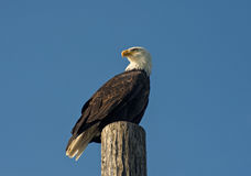 Bald Eagle. Royalty Free Stock Photo