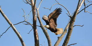 Bald Eagle In Mid-Air Flight Stock Photos