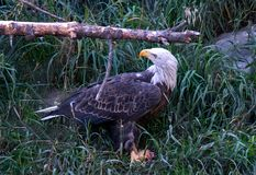 Bald eagle in Montana. A Bald eagle in Montana searches for small rodents in the tall grass Stock Images