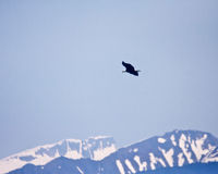Bald Eagle and Mountains Royalty Free Stock Image