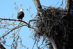 Bald eagle and nest. Bald eagle perched on tree next to nest with blue sky background Royalty Free Stock Photo