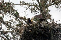 Bald eagle nest in Alaska Royalty Free Stock Photos