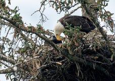 Bald eagle nest in Alaska Stock Image