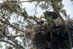 Bald eagle nest in Alaska Stock Photography